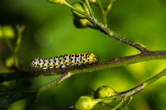 CATEPILLAR. In the nature in the wild royalty free stock photography