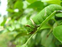 Catepillars de la mariposa de la cal Fotografía de archivo