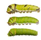 Catepillars von Kalk Schmetterling (papilio demoleus) lizenzfreies stockbild