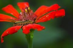Caterpilar en la flor anaranjada imagen de archivo libre de regalías