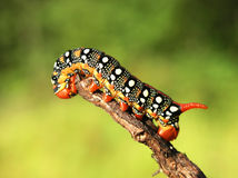 Caterpilla Royalty Free Stock Photography