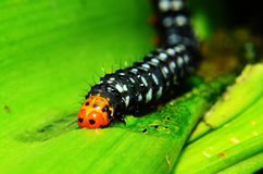 Caterpilla 免版税库存照片