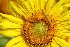 Caterpilla on sunflower pollen Royalty Free Stock Photos