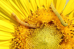 Caterpilla on sunflower pollen Royalty Free Stock Photography
