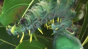 Caterpillar äta