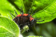 Caterpillar épineux Photos stock