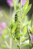 Caterpillar - ελέφαντας hawkmoth Στοκ φωτογραφία με δικαίωμα ελεύθερης χρήσης