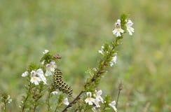 Caterpillar μιας πεταλούδας swallowtail σε eyebright εγκαταστάσεις στοκ φωτογραφία