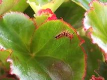 Caterpillar που ζει σε Begonia εγκαταστάσεις Στοκ Εικόνες