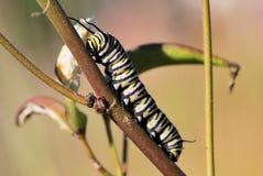 Caterpillar σε ένα ραβδί Στοκ Φωτογραφία