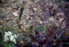 Caterpillar στο μίσχο Στοκ Φωτογραφίες