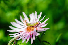 Caterpillar στο λουλούδι Στοκ φωτογραφίες με δικαίωμα ελεύθερης χρήσης