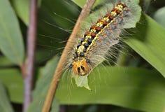 Caterpillar του σκώρου 5 τσιγγάνων Στοκ Εικόνα