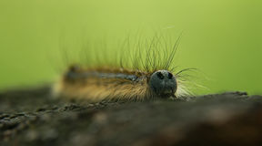 Caterpillar #03. Closeup photo of a small caterpillar Royalty Free Stock Photography