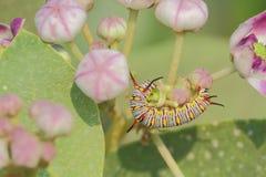 Caterpillar obraz royalty free