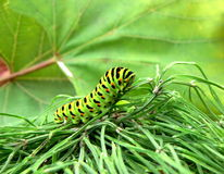 Caterpillar. A caterpillar of butterfly Royalty Free Stock Photography