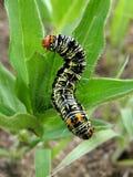 Caterpillar. Swaziland Royalty Free Stock Image