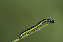 Caterpillar. Black yellow and blue caterpillar on a thin branch Royalty Free Stock Images