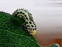 Caterpillar. On leaf Royalty Free Stock Photos