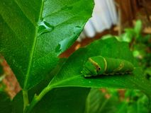 caterpillar fotografie stock