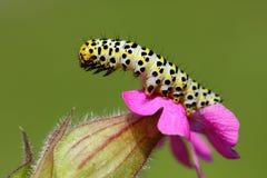 Caterpillar. Beautiful catarpillar on flower bud royalty free stock photos