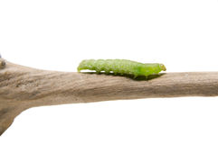 The caterpillar Stock Images