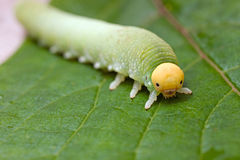 Caterpillar. Green caterpillar on a green leaf close up Stock Photography