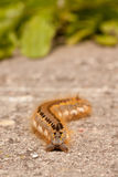 A caterpillar Royalty Free Stock Photos