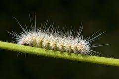Caterpillar. Close up of caterpillar on a branch Royalty Free Stock Photography