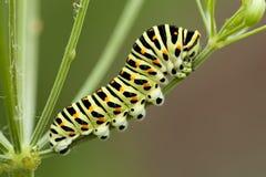 Caterpillar. Yellow spotted caterpillar sit on plant Stock Photo
