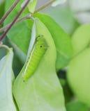 Caterpillar. A green caterpillar on a leaf royalty free stock photo