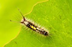 Caterpillar. Top view closeup of the caterpillar on leaf Stock Image