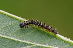 Caterpillar. Of the small tortoiseshell (Aglais (Vanessa) urticae stock photo