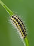 Caterpillar. The narrow-bordered five-spot burnet (Zygaena lonicerae). Caterpillar royalty free stock image