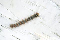 Caterpillar lizenzfreies stockfoto