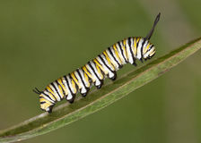 Caterpillar στο φύλλο Στοκ Εικόνες