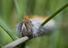 Caterpillar Royaltyfria Bilder