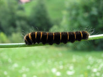 Caterpillar obrazy royalty free