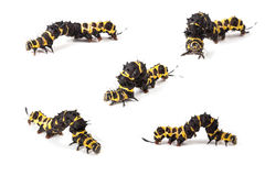 caterpillar Fotografia Stock