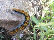 Caterpillar Imágenes de archivo libres de regalías