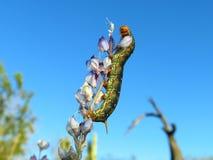 Free Caterpillar Royalty Free Stock Photography - 5368567