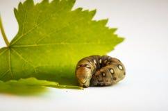 caterpillar Fotografia Stock Libera da Diritti