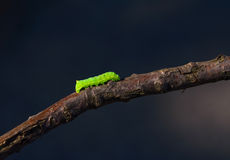 Caterpillar. Green caterpillar walking on a twig with a dark blue background Stock Photos