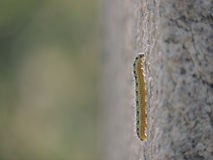 caterpillar Immagine Stock Libera da Diritti