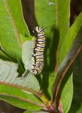 Caterpillar. Climbing on plant stalk Stock Photography