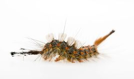 Caterpillar. Original latin name ,Tussock hairy caterpillar royalty free stock images