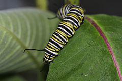 Caterpillar. On a leaf stock photos