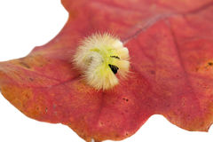 Caterpillar. Shaggy caterpillar on red leaf. A close up Stock Image