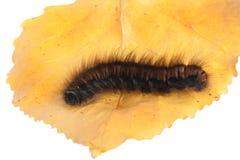 Caterpillar. Shaggy caterpillar on yellow leaf. A close up Royalty Free Stock Photos