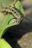 Caterpillar. Monarch caterpillar on green leaf Stock Photo